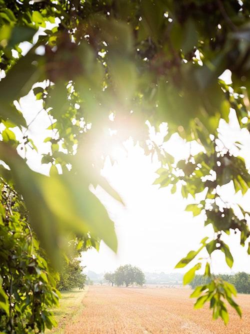 Sonnenlicht, das durch den Ast eines Laubbaumes im Vordergrund fällt, im Hintergrund ein Kornfeld und Wiese, am Horizont Laubbäume